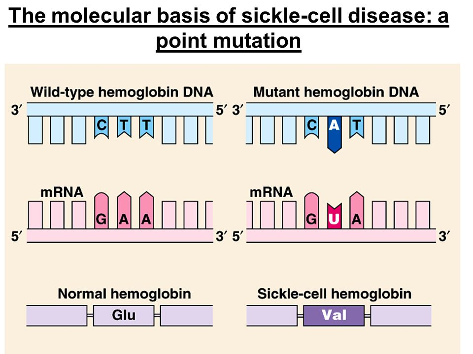The molecular basis of sickle-cell disease: a point mutation