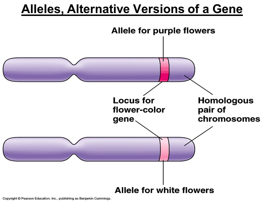 Alleles, Alternative Versions of a Gene