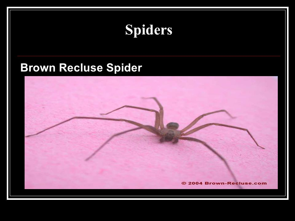 Spiders Brown Recluse Spider