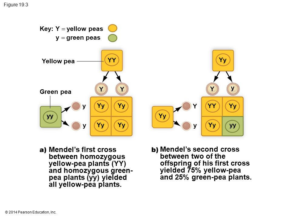 Figure 19.3 Key: Y  yellow peas. y  green peas. Yellow pea. YY. Yy. Y. Y. Y. y. Green pea.