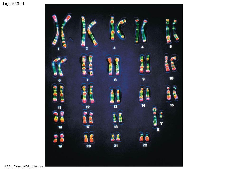 Figure 19.14 Figure 19.14 The human karyotype. 33