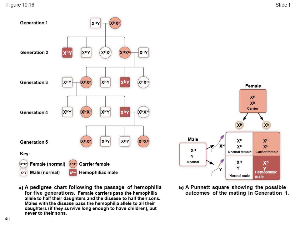 Figure 19.16 Slide 1. Generation 1. XHY. XHXh. Generation 2. XhY. XHY. XHXH. XHXh. XHY. Generation 3.