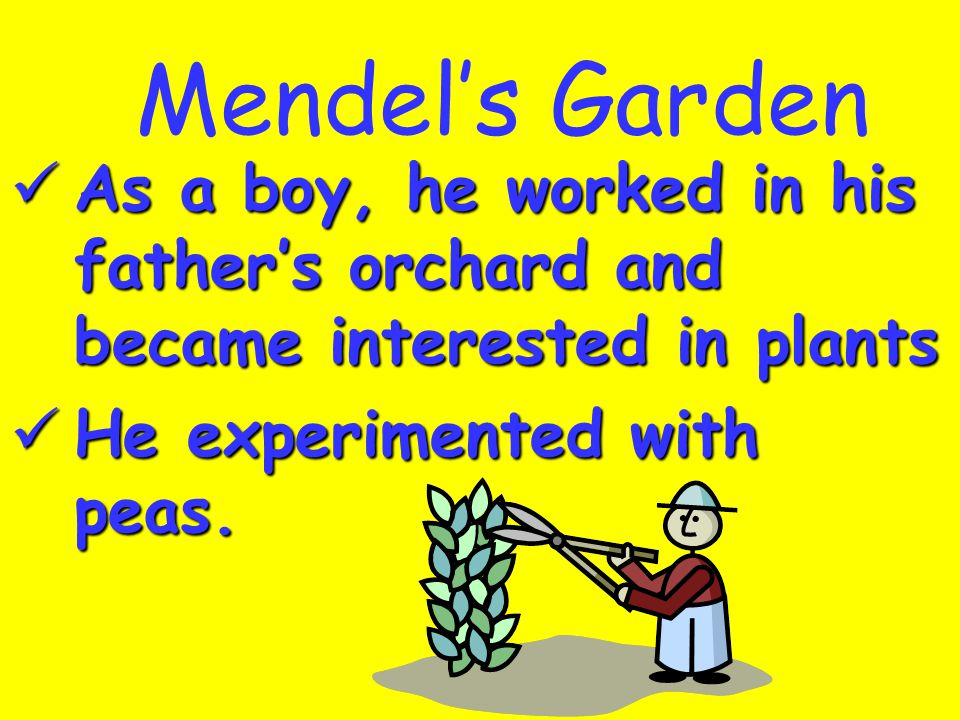 Mendel's Garden As a boy, he worked in his father's orchard and became interested in plants.