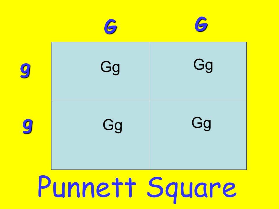 G G g Gg Gg g Gg Gg Punnett Square