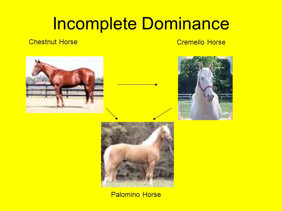 Incomplete Dominance Chestnut Horse Cremello Horse Palomino Horse