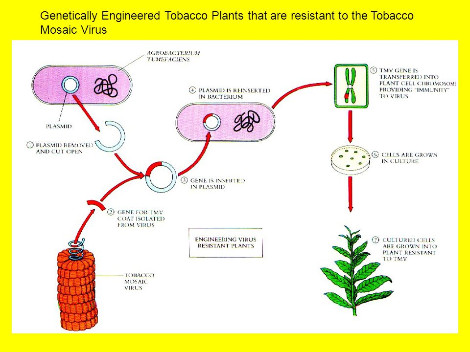 Genetically Engineered Tobacco Plants that are resistant to the Tobacco Mosaic Virus