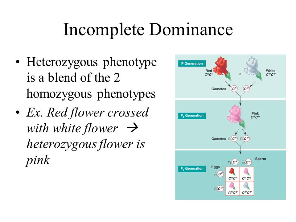Incomplete Dominance Heterozygous phenotype is a blend of the 2 homozygous phenotypes.