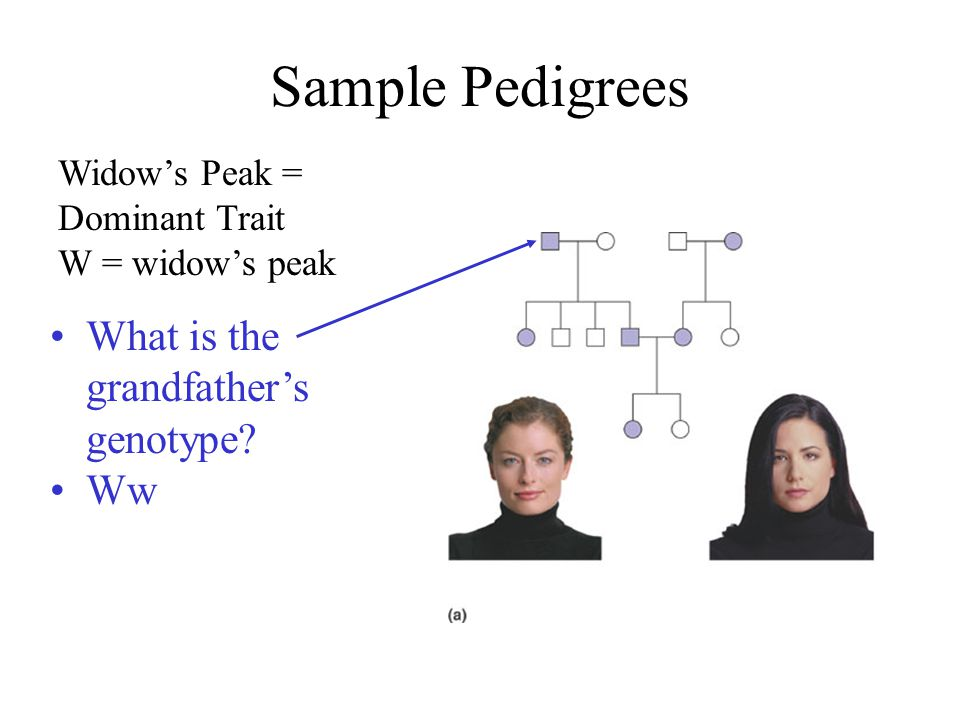 Sample Pedigrees What is the grandfather's genotype Ww