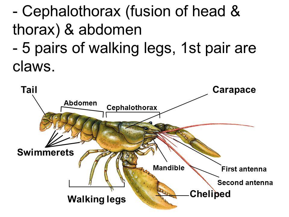 - Cephalothorax (fusion of head & thorax) & abdomen