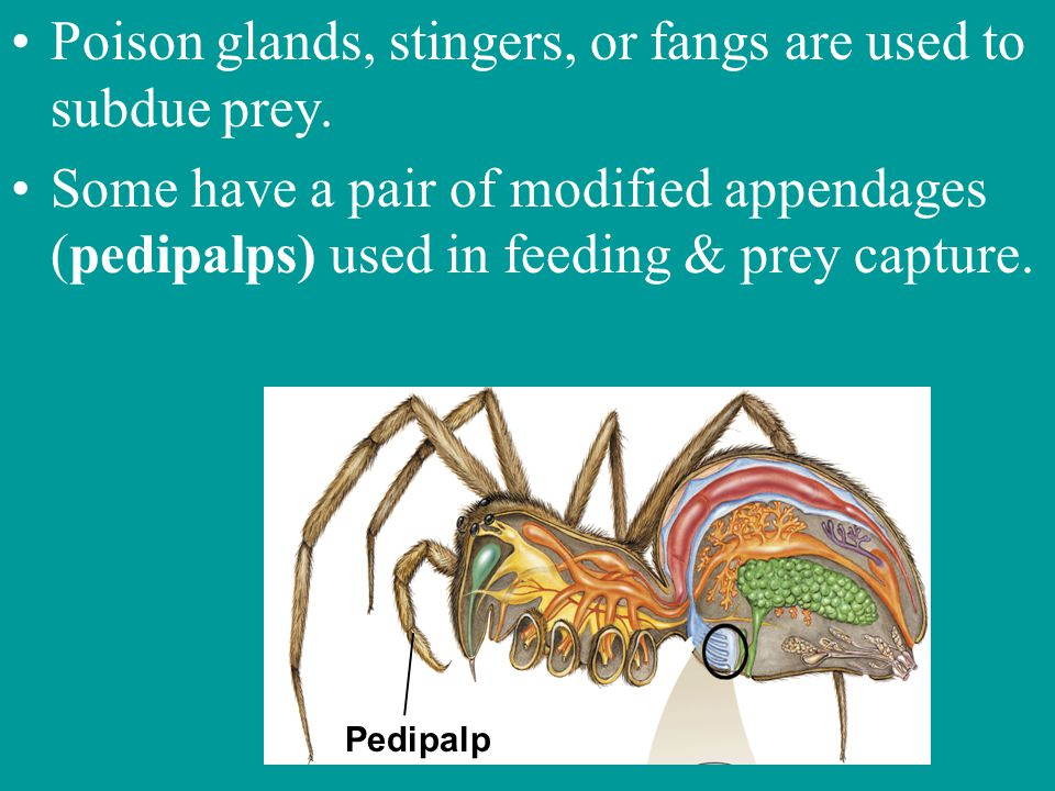 Poison glands, stingers, or fangs are used to subdue prey.