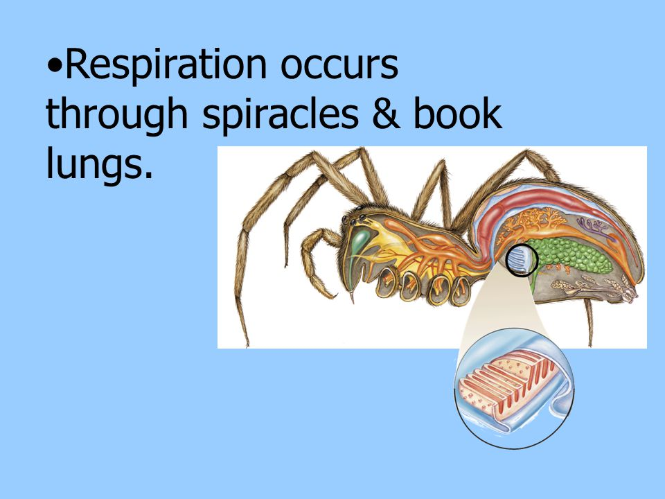 Respiration occurs through spiracles & book lungs.