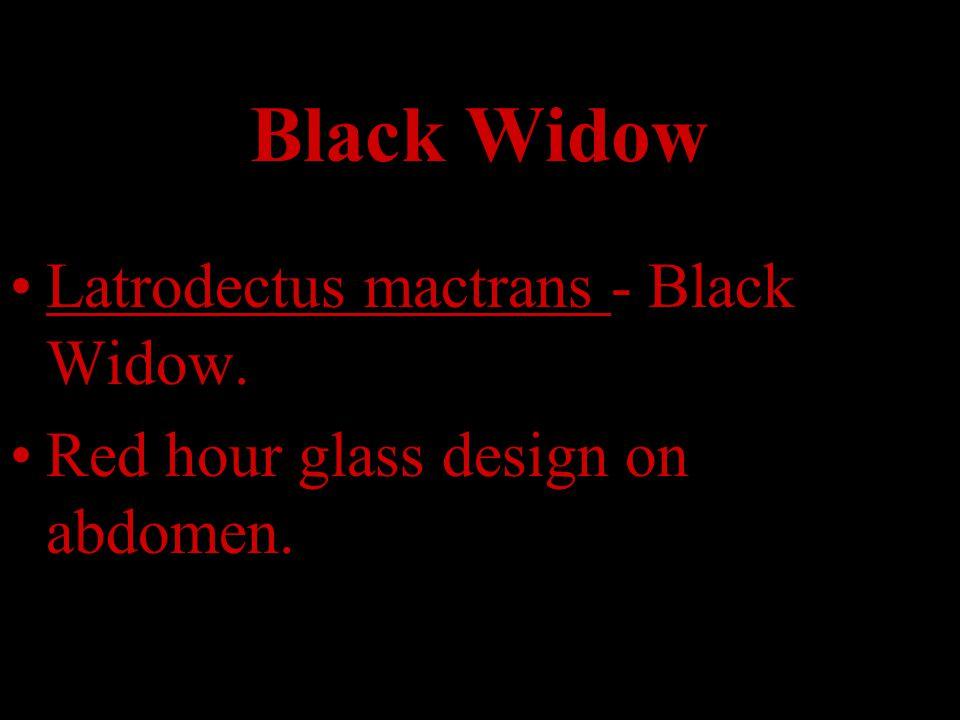 Black Widow Latrodectus mactrans - Black Widow.