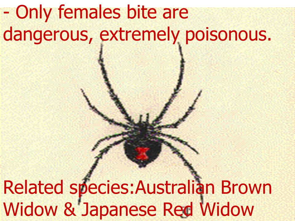 - Only females bite are dangerous, extremely poisonous.