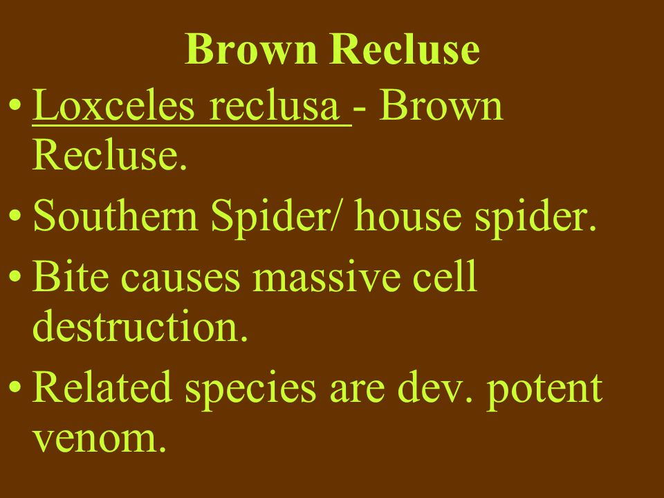 Brown Recluse Loxceles reclusa - Brown Recluse. Southern Spider/ house spider. Bite causes massive cell destruction.