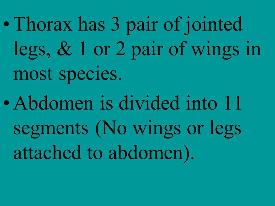 Thorax has 3 pair of jointed legs, & 1 or 2 pair of wings in most species.