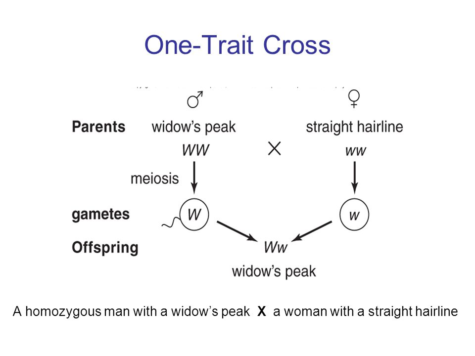 One-Trait Cross A homozygous man with a widow's peak X a woman with a straight hairline
