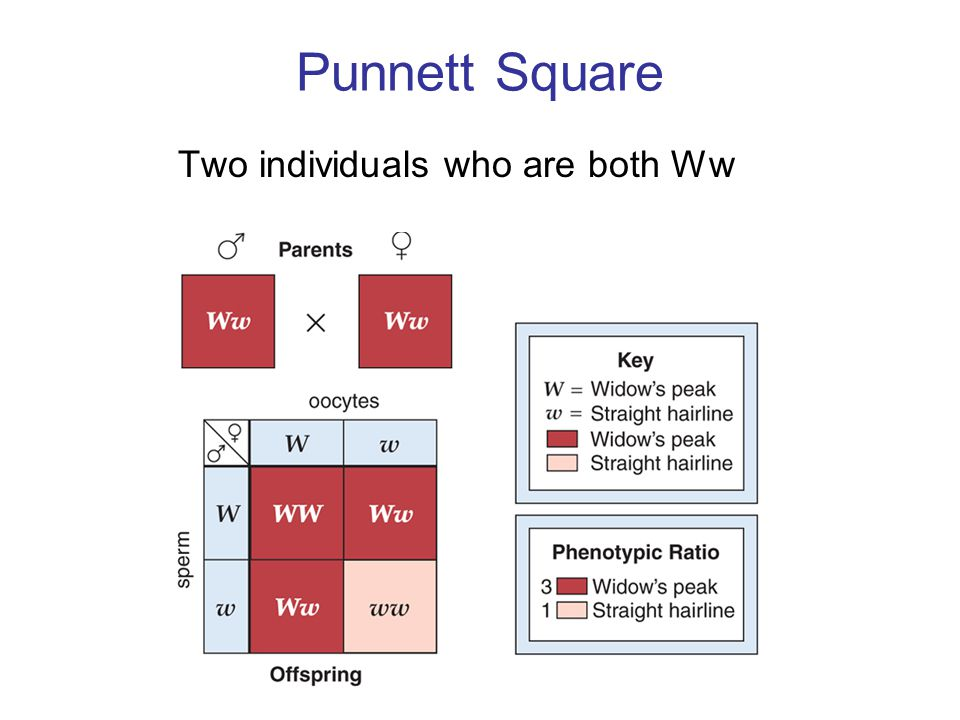 Punnett Square Two individuals who are both Ww