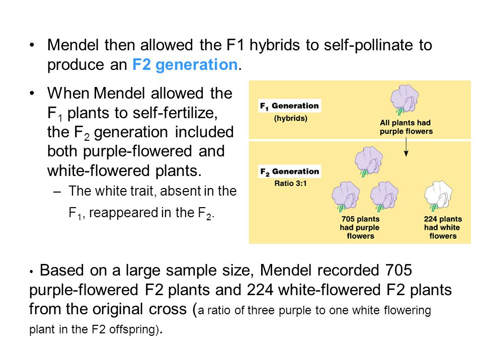 Mendel then allowed the F1 hybrids to self-pollinate to produce an F2 generation.