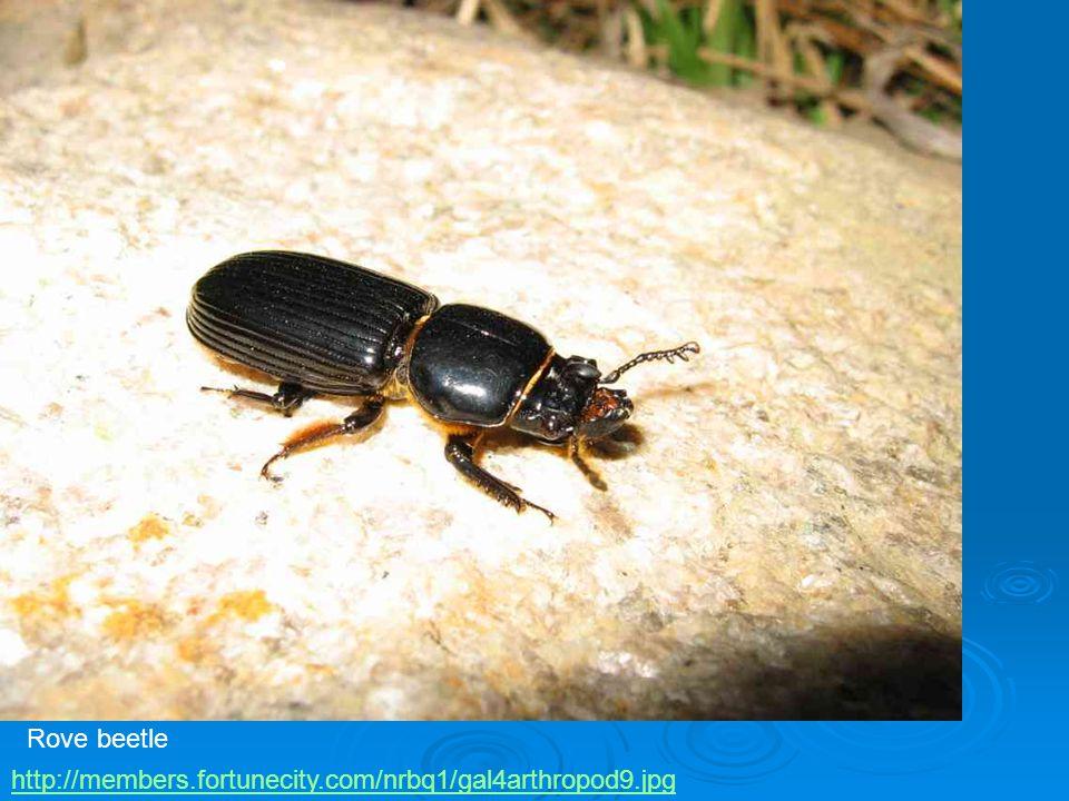 Rove beetle http://members.fortunecity.com/nrbq1/gal4arthropod9.jpg