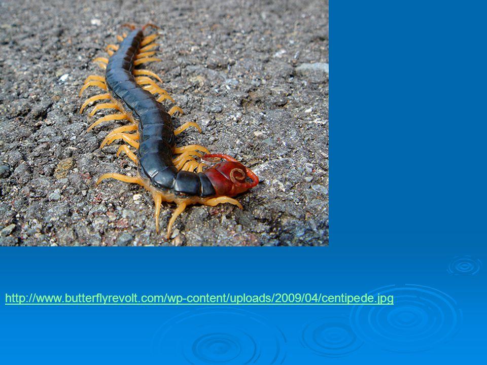 http://www. butterflyrevolt. com/wp-content/uploads/2009/04/centipede