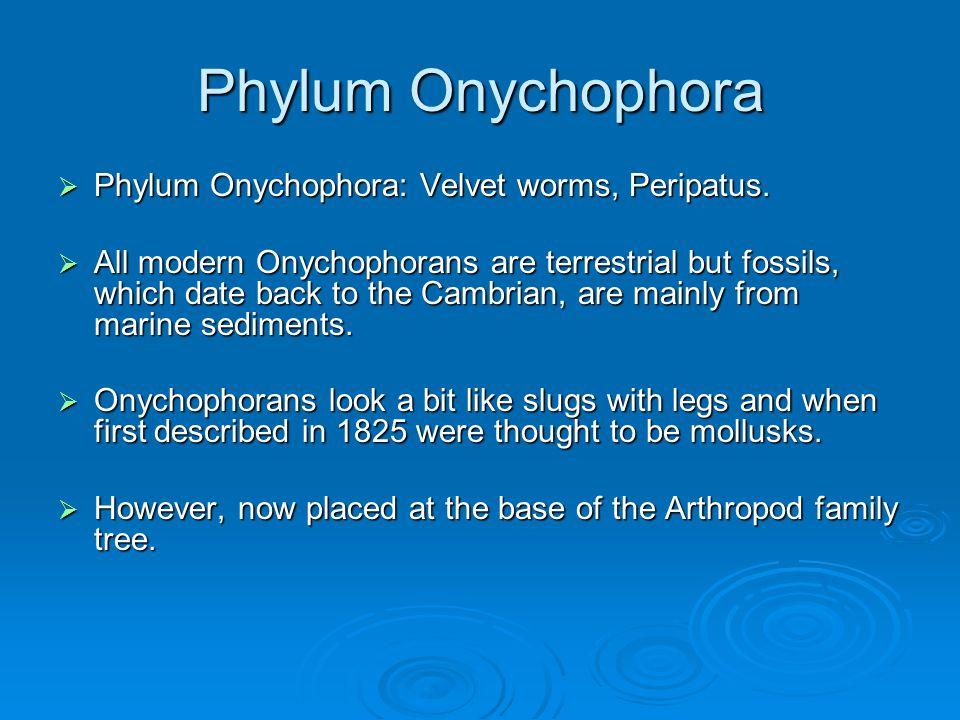 Phylum Onychophora Phylum Onychophora: Velvet worms, Peripatus.