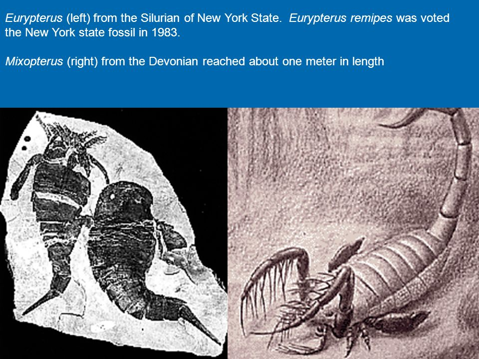 Eurypterus (left) from the Silurian of New York State