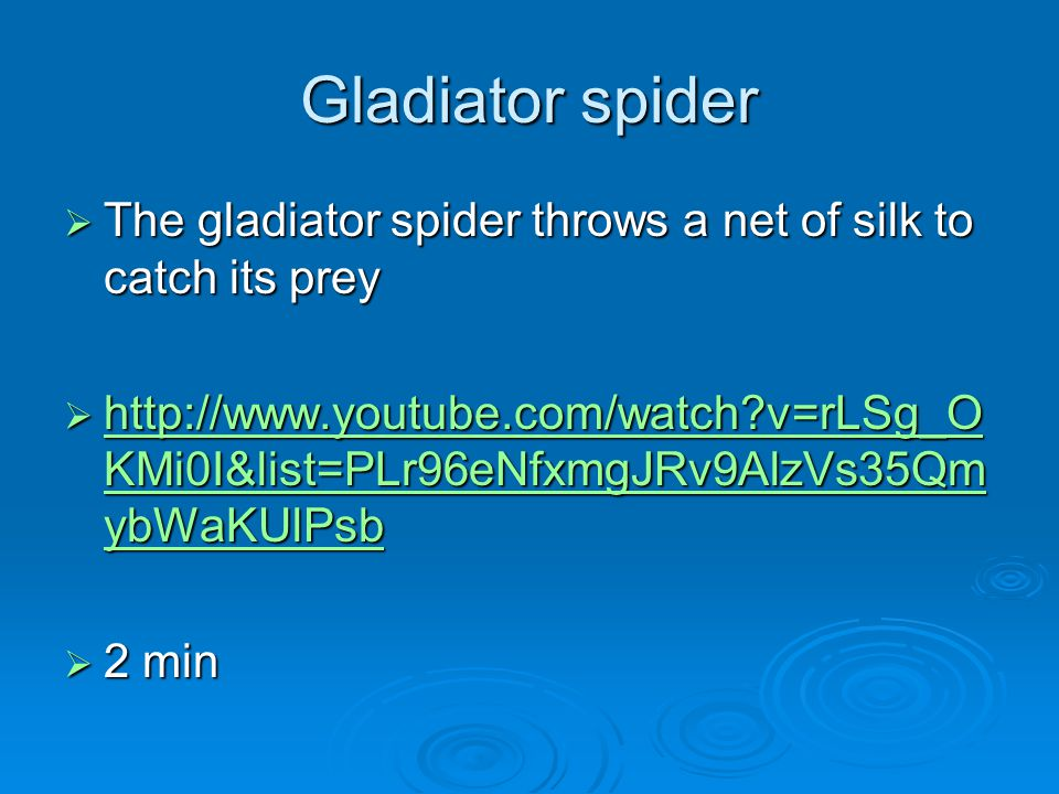 Gladiator spider The gladiator spider throws a net of silk to catch its prey.