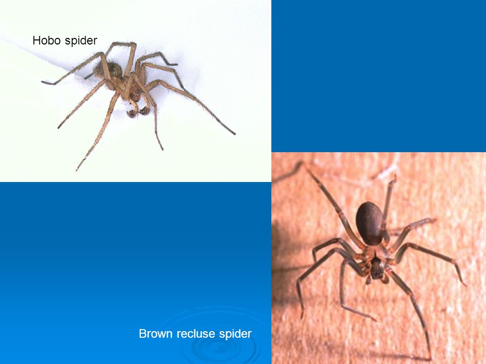 Hobo spider Brown recluse spider