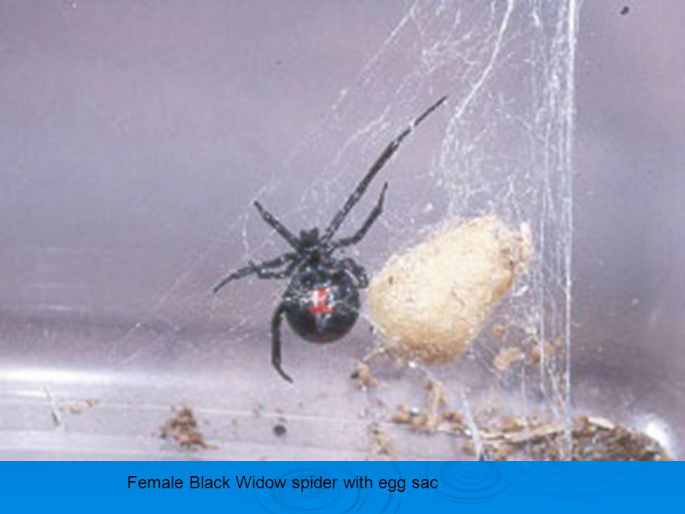 Female Black Widow spider with egg sac