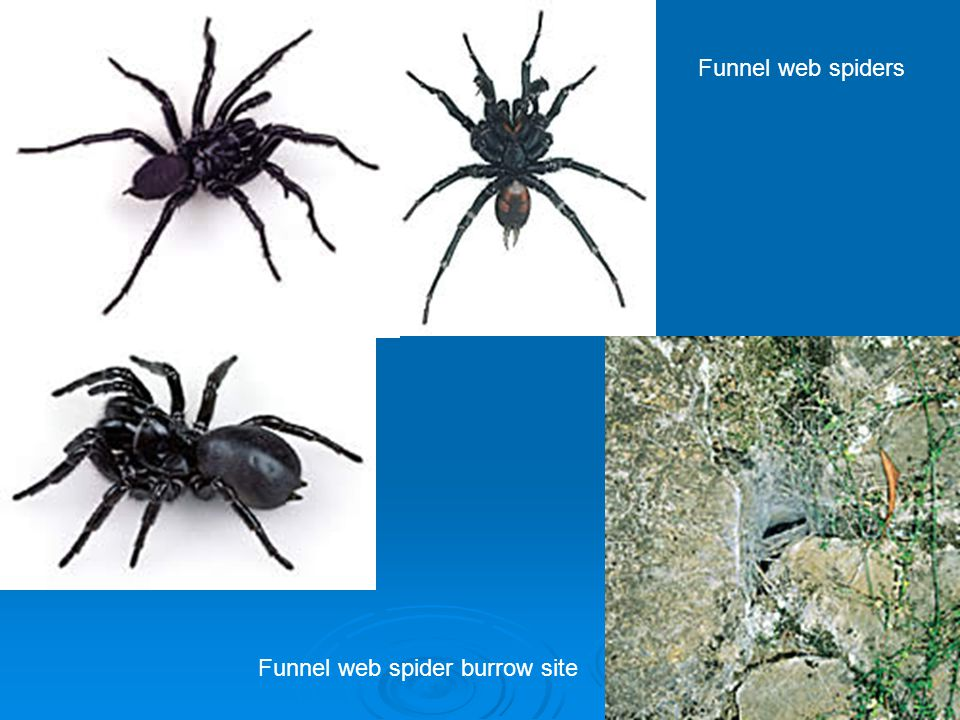Funnel web spiders Funnel web spider burrow site