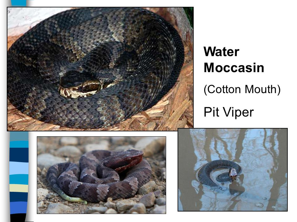 Water Moccasin (Cotton Mouth) Pit Viper