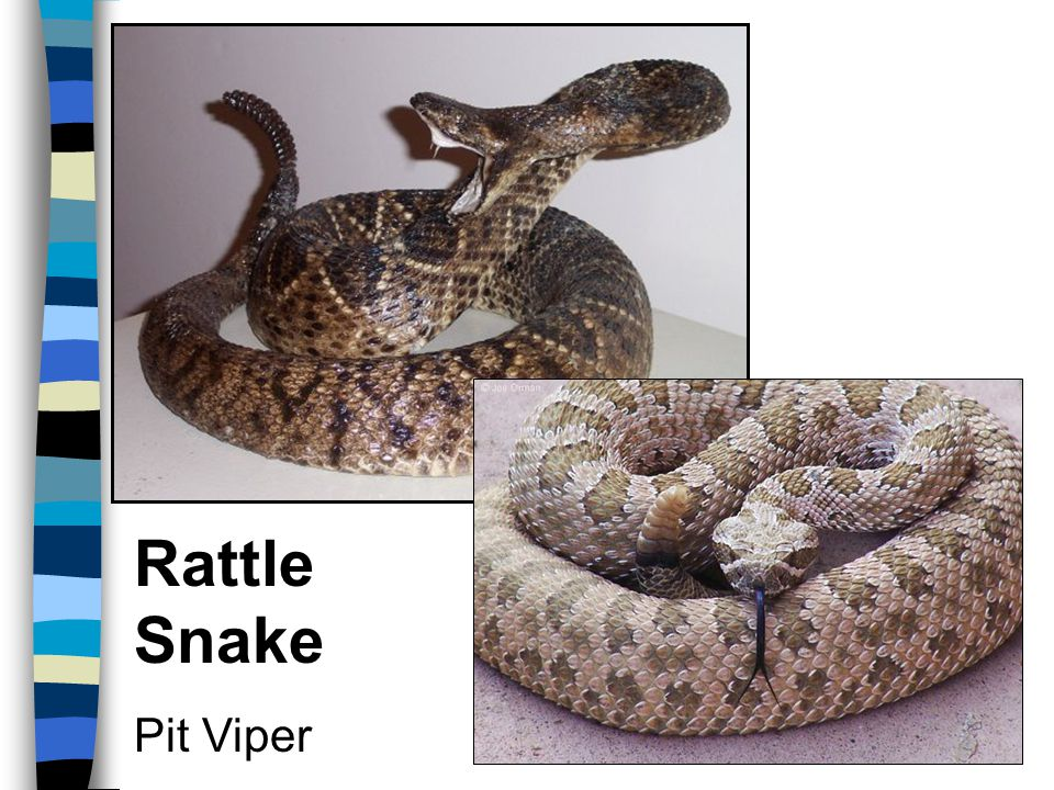 Rattle Snake Pit Viper