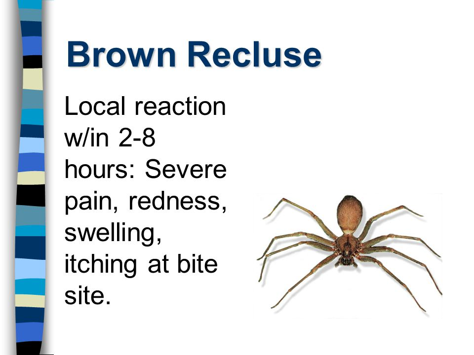 Brown Recluse Local reaction w/in 2-8 hours: Severe pain, redness, swelling, itching at bite site.