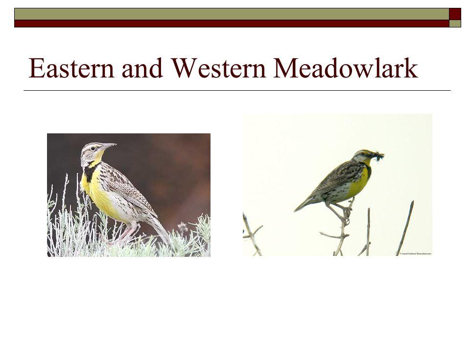 Eastern and Western Meadowlark