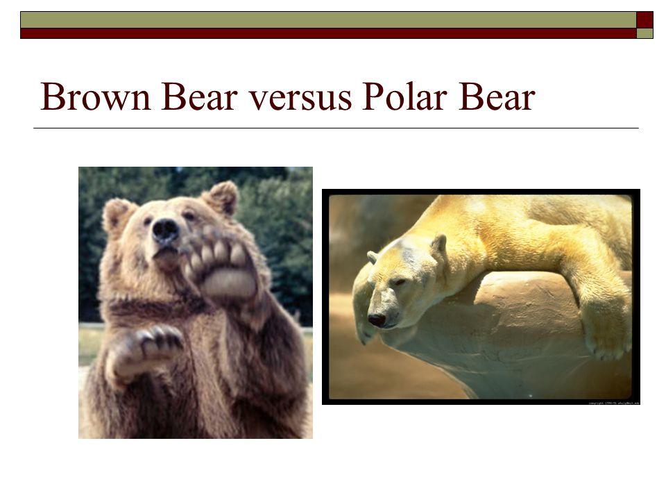Brown Bear versus Polar Bear