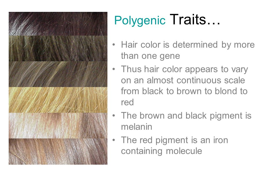 Polygenic Traits… Hair color is determined by more than one gene