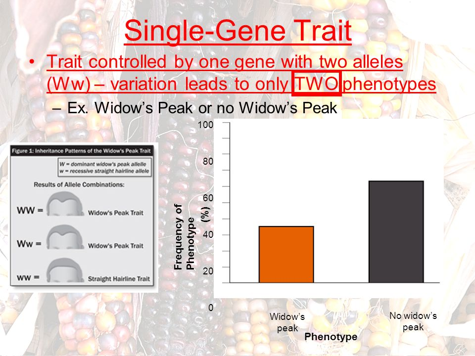 Single-Gene Trait Trait controlled by one gene with two alleles (Ww) – variation leads to only TWO phenotypes.