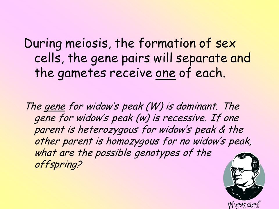 During meiosis, the formation of sex cells, the gene pairs will separate and the gametes receive one of each.