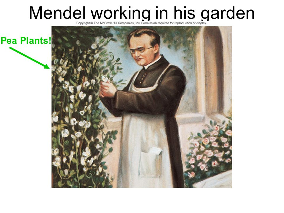 Mendel working in his garden
