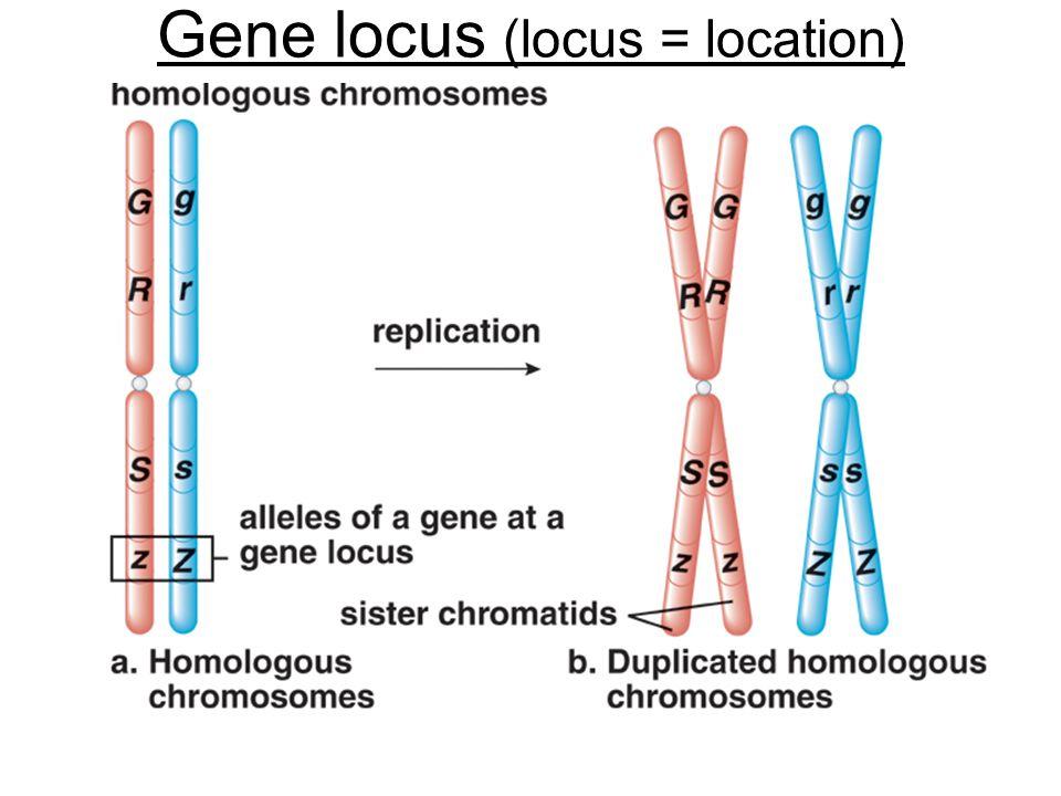 Gene locus (locus = location)