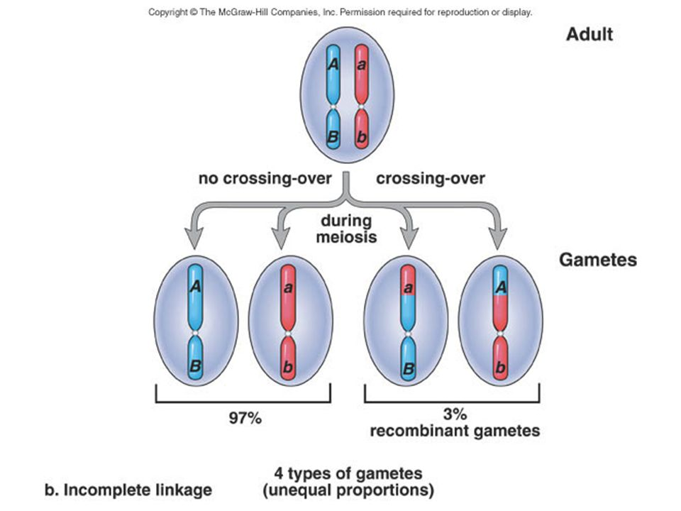 When linkage is incomplete, this dihybrid produces four types of gametes because crossing-over has occurred.