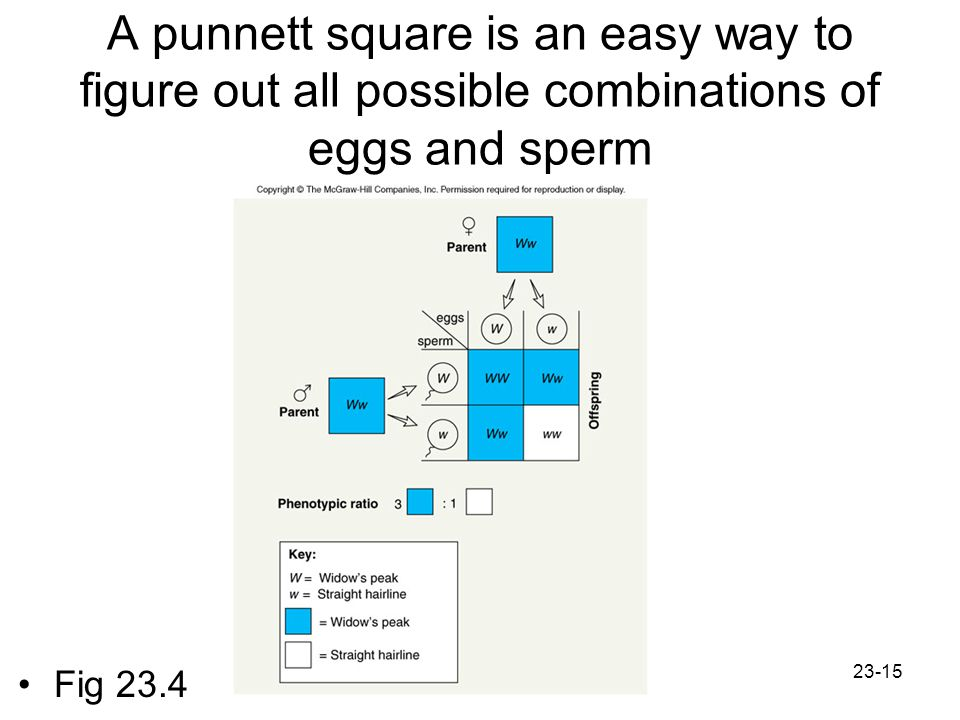 A punnett square is an easy way to figure out all possible combinations of eggs and sperm