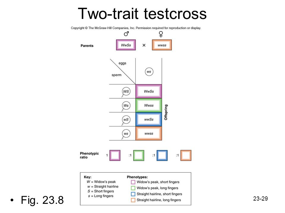 Two-trait testcross Fig. 23.8
