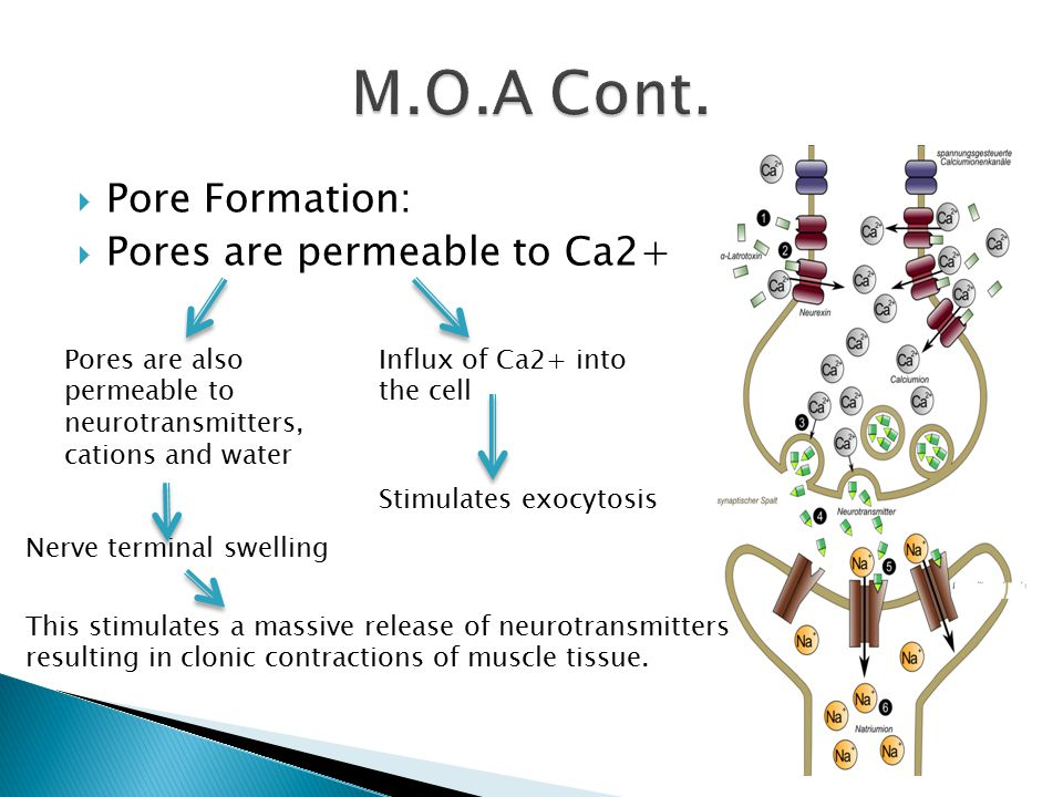 M.O.A Cont. Pore Formation: Pores are permeable to Ca2+