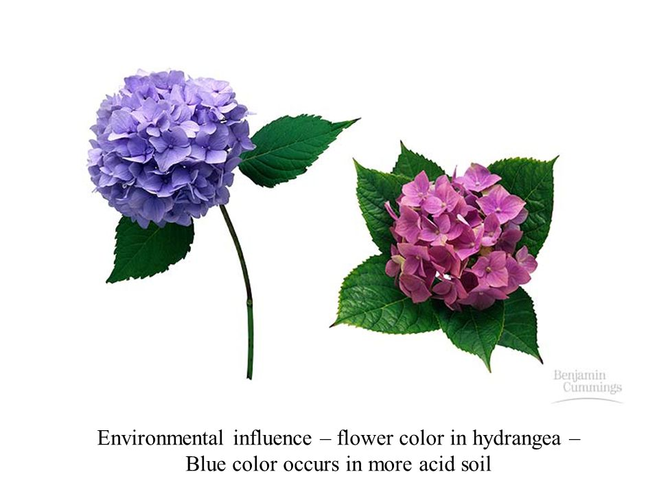 Environmental influence – flower color in hydrangea –