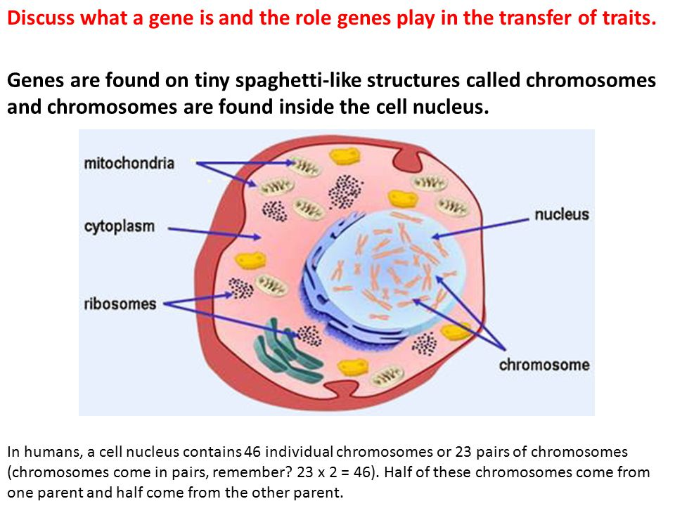 Discuss what a gene is and the role genes play in the transfer of traits.
