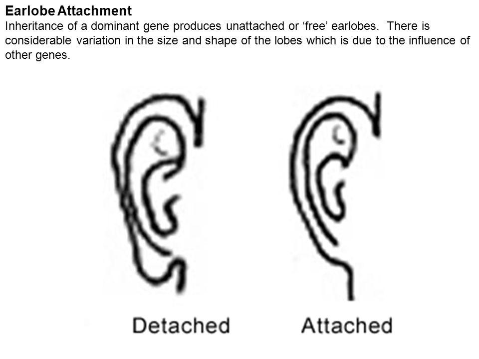 Earlobe Attachment