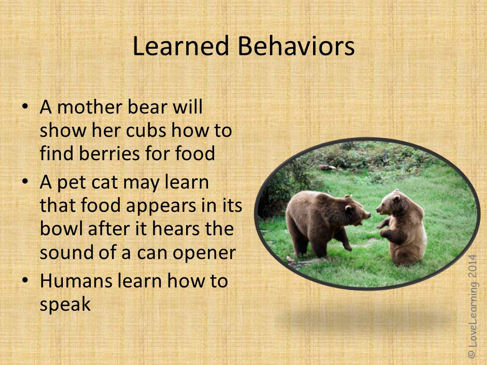 Learned Behaviors A mother bear will show her cubs how to find berries for food.