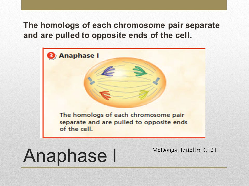 The homologs of each chromosome pair separate and are pulled to opposite ends of the cell.