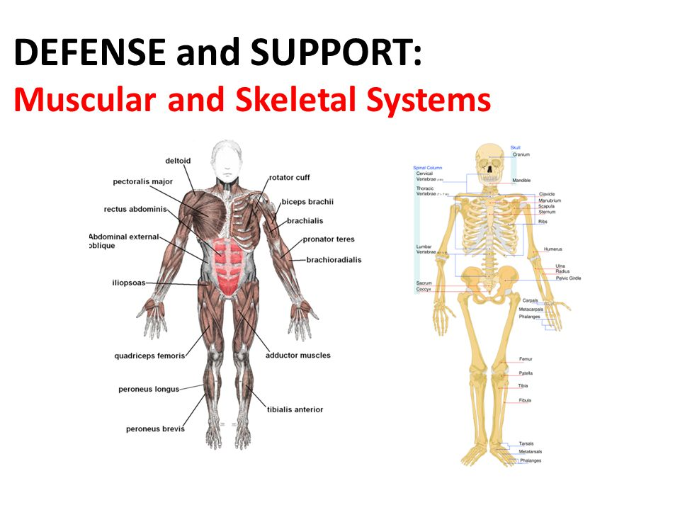 DEFENSE and SUPPORT: Muscular and Skeletal Systems. - ppt video ...